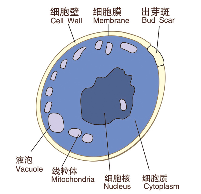 Yeast Cell Budding Diagram Choice Image - How To Guide And ...