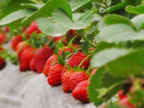 Quality strawberry soilless cultivation in Taiwan