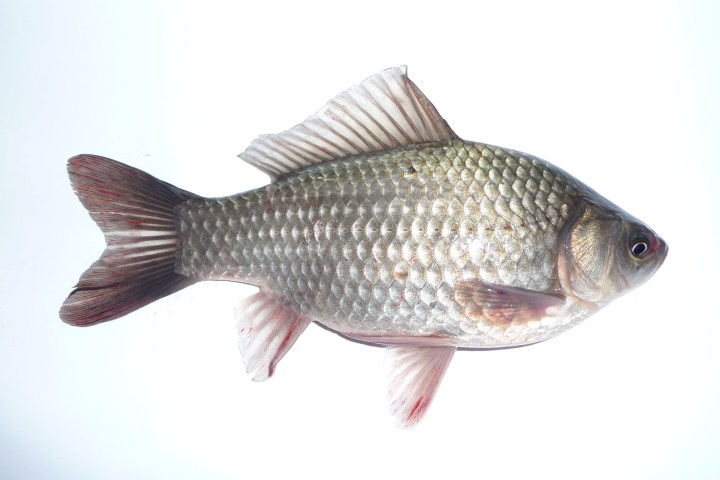 Effect of GroPro on feed palatability in Carassius Auratus Gibelio