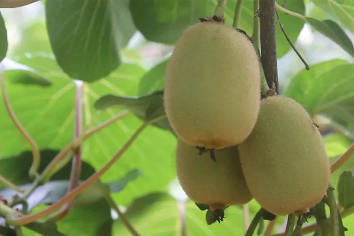 Managing kiwifruit orchard easily, bearing fruit in the fourth year! The production doubled the next year